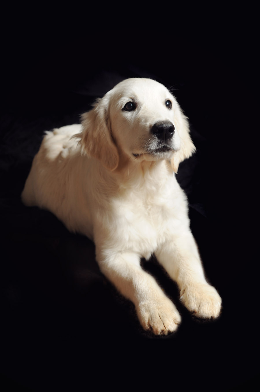 English Cream Golden Retriever at 4 months
