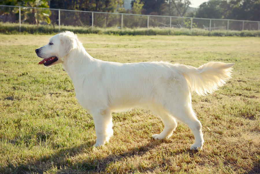 Bulgarian English Golden Retriever Champion Tina