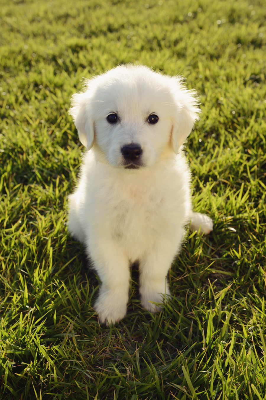 Golden Retriever Puppy for her photo