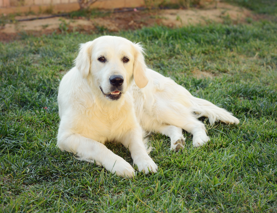 English golden retriever sitting