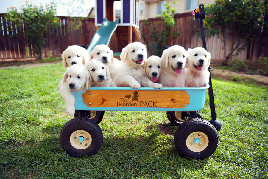 English golden retriever puppies at 7 weeks