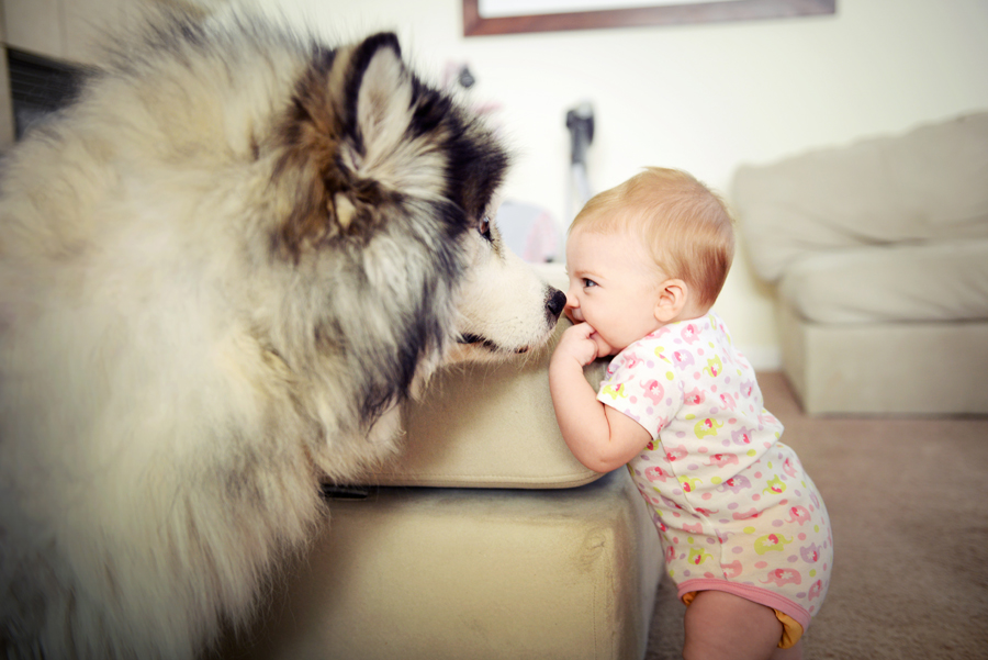 our alaskan malamute with daughter