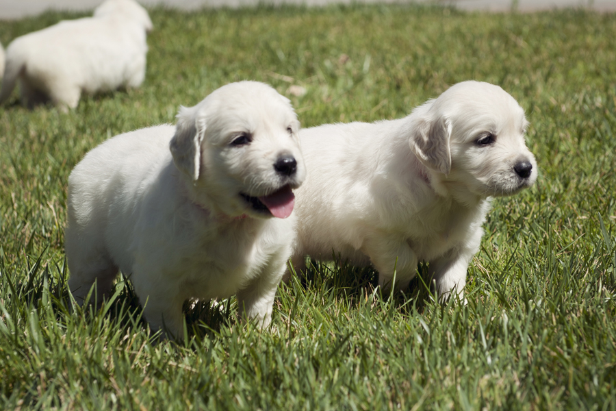Puppies playing in the grass.