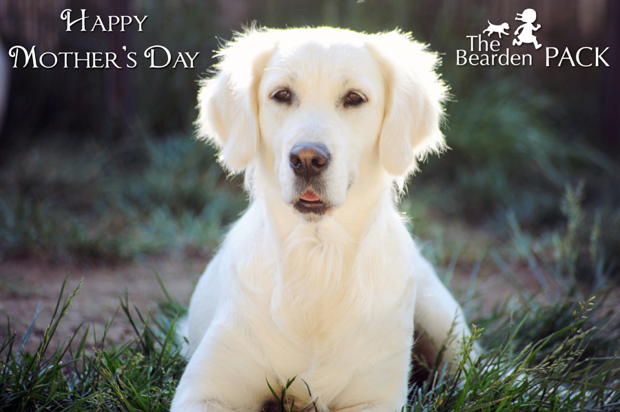 A golden retriever Mother's Day