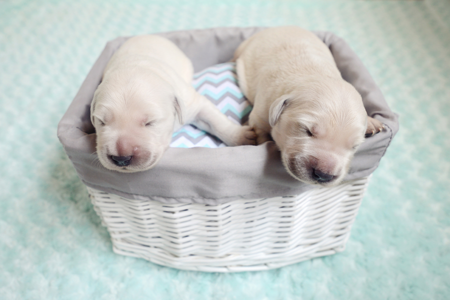 7 Day Old Puppies