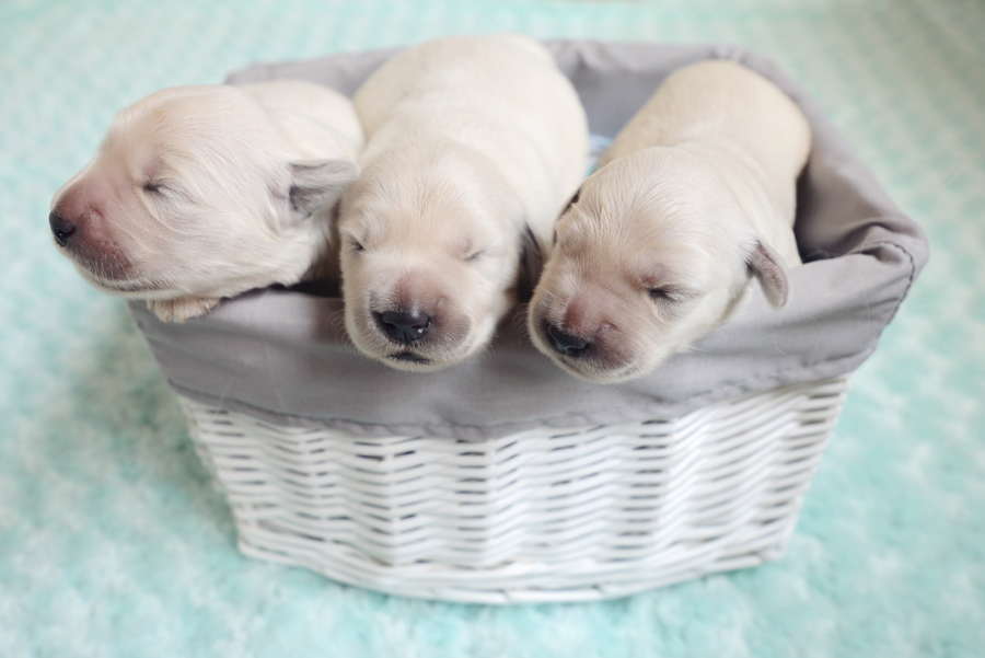 7 day old girl puppies