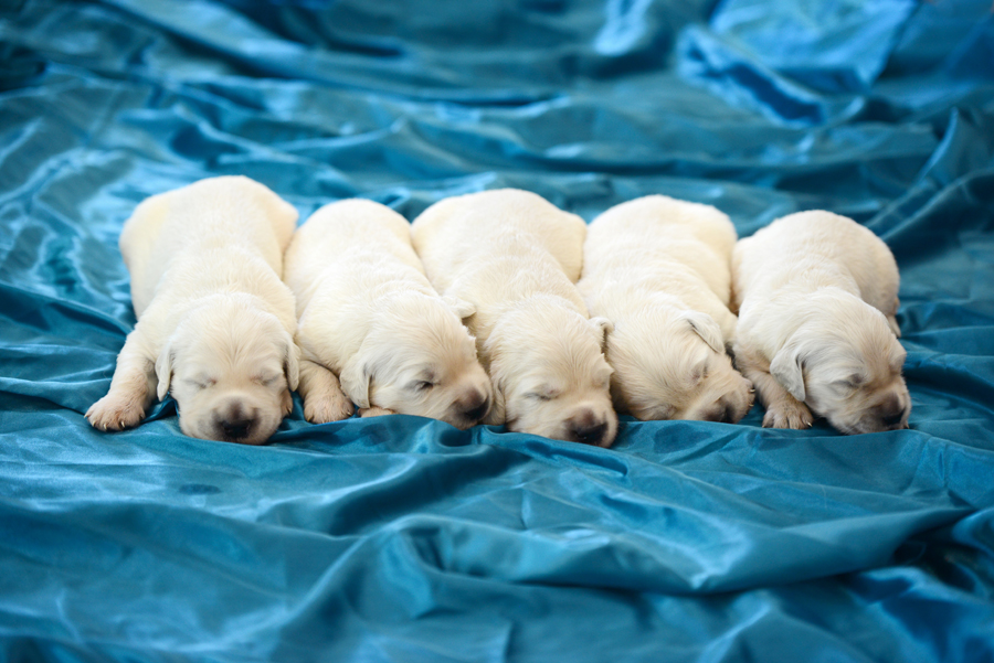 cute golden retriever puppies
