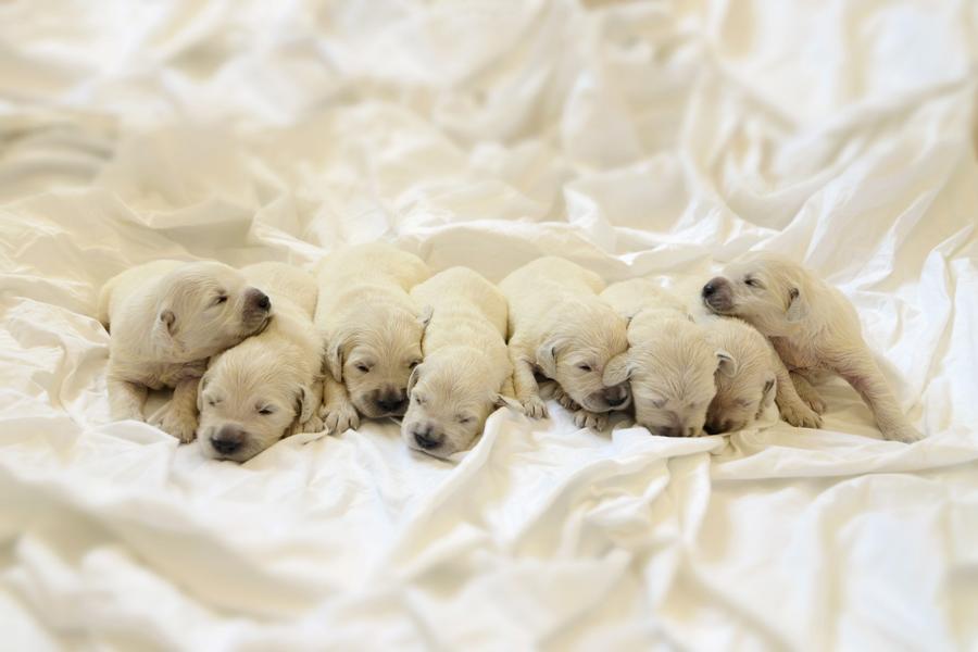 When Do Golden Retriever Puppies Open Their Eyes